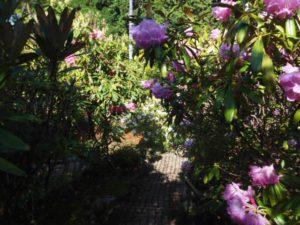 2012年5月11日道を覆うようにシャクナゲが開花しております.