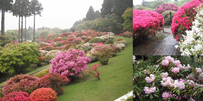 山のホテル庭園に咲くツツジ