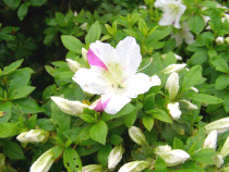 希少品種のひとつ「峰の松風」